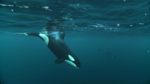 Norwegian orcas eat herring by cooperatively carousel feeding