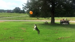 Rose the Boston Terrier plays with a balloon