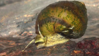 The Unlikely Tale of a Tenacious Snail – Science Friday