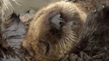 For sea otters, lounging around is the key to conserving energy