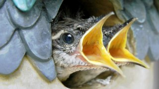 Up close with a Carolina Wren as it feeds its nesting baby birds