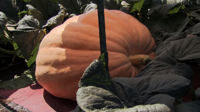 How to grow a giant pumpkin for a giant pumpkin contest