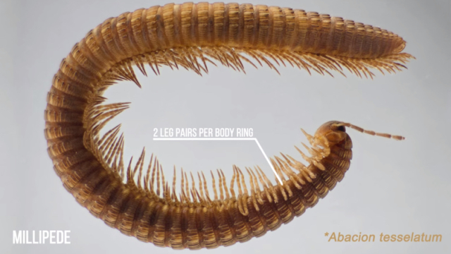Millipedes – The First Land Animals – The Brain Scoop