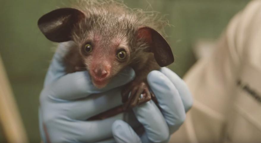 Baby aye aye lemur - photo#5
