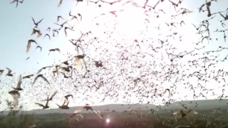 Filming bats with slow motion & thermal cameras