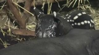 A spotty baby Malayan tapir at the Prague Zoo
