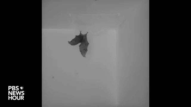 Bats flip like Tony Hawk to land upside down