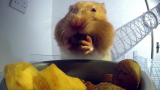 X-ray video of how hamsters fit food in their cheek pouches