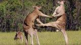 Kangaroo Boxing Fight – BBC Life Story