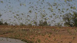 Australia's budgie super swarms