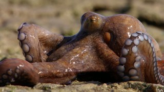 The Abdopus Octopus walks across dry land to hunt for crabs