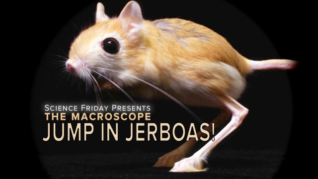 Jump In Jerboas – Science Friday