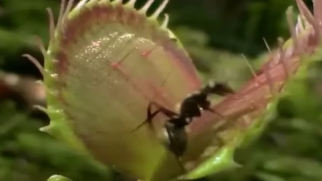 Venus flytraps count to avoid being tricked