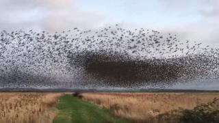 An amazing murmuration of 70,000 starlings