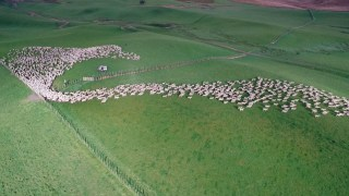 Hundreds of sheep move across New Zealand's grasslands