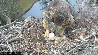 Cornell Lab of Ornithology's Great Horned Owl Live Cam