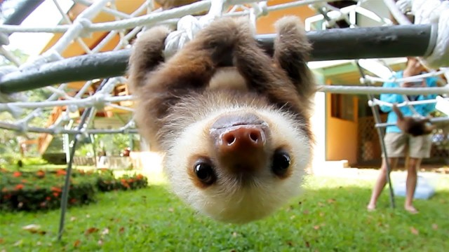 What do baby sloths sound like?