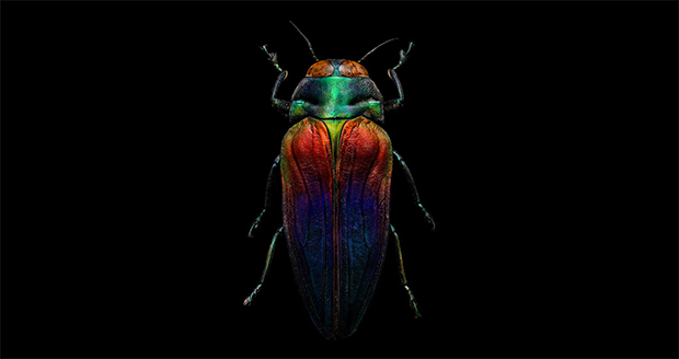 tri-colored-jewel-beetle-body