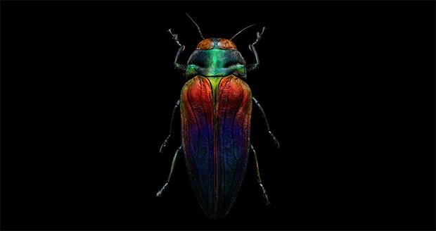 tri-colored-jewel-beetle-body
