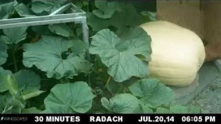 Growing a 1,223 pound pumpkin from seed to scale in time lapse