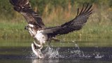 An osprey fishing in spectacular super slow motion