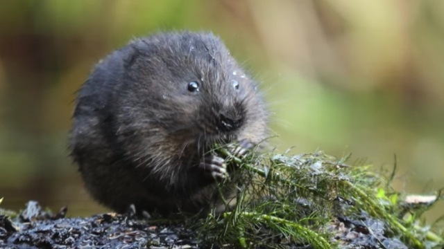 Searching for Water Voles