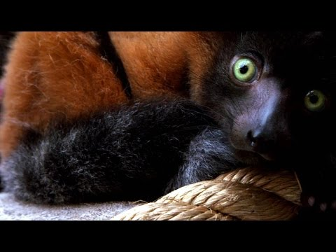 Primate Parenthood: Red ruffed lemur & Allen's swamp monkey