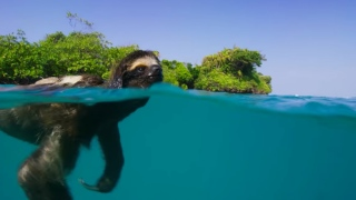 A pygmy three-toed sloth swims & snow leopards send messages