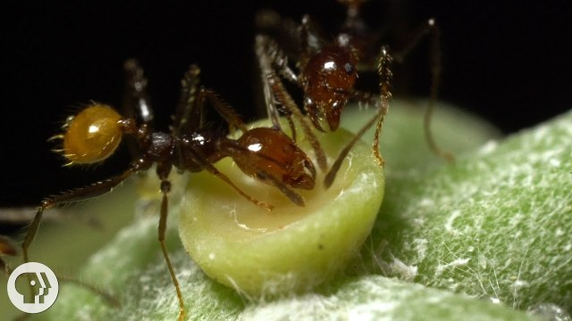 The Double-Crossing Ants to Whom Friendship Means Nothing