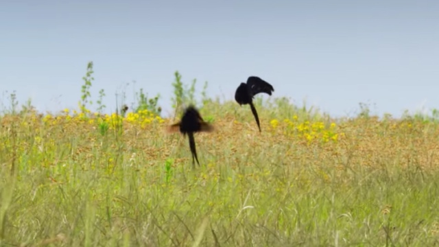 Widow birds bounce and leap for attention