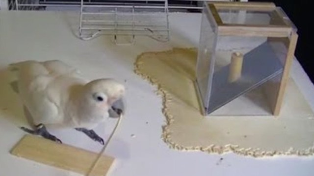 Goffin's cockatoos try to create tools to reach a treat