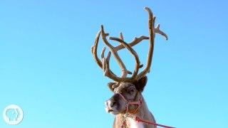 How Do Reindeer and Elk Get Their Astounding Antlers?