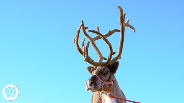 How Do Reindeer and Elk Get Their Astounding Antlers?