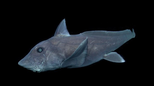 The pointy-nosed blue ratfish Hydrolagus trolli