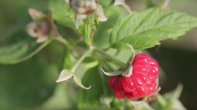How Does it Grow? Raspberries