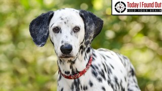 Why are Dalmatians the Traditional Dog of Choice at Firestations?