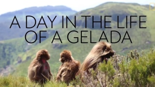 Spend a Day With the World's Only Grass-Eating Monkeys