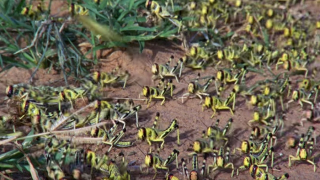 Swarm Of Locusts Devour Everything In Their Path