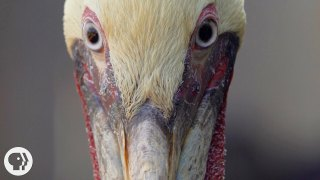 How Do Pelicans Survive Their Death-Defying Dives?