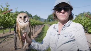 Barn Owls: The Secret Saviors of Napa Valley's Vineyards