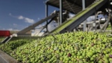 California Ripe Olives: From Orchard to Store Shelf
