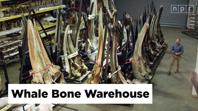 The world's largest collection of whale bones