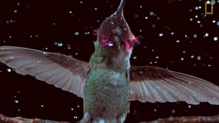 Hummingbirds fly, shake, and drink in slow motion