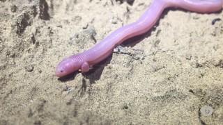The elusive Bipes biporus, Baja's 'worm lizard'