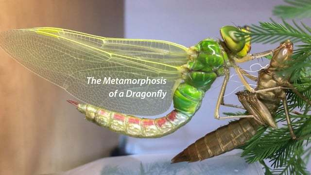 The Metamorphosis of a Dragonfly