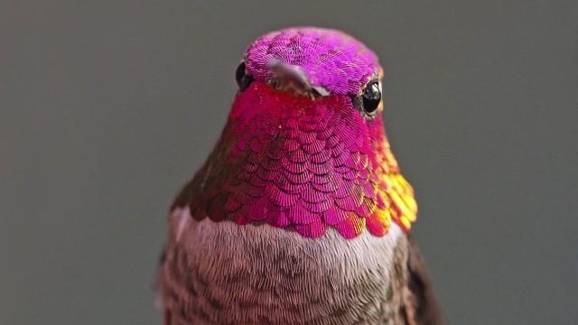 UCLA's Hummingbird Whisperer