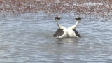 Rare footage of the Hooded Grebe courtship dance