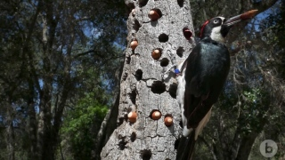 The Anomalies: The Acorn Woodpecker