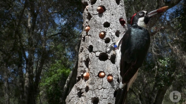 The Anomalies: The Acorn Woodpecker