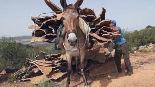 Harvesting cork in rural Spain